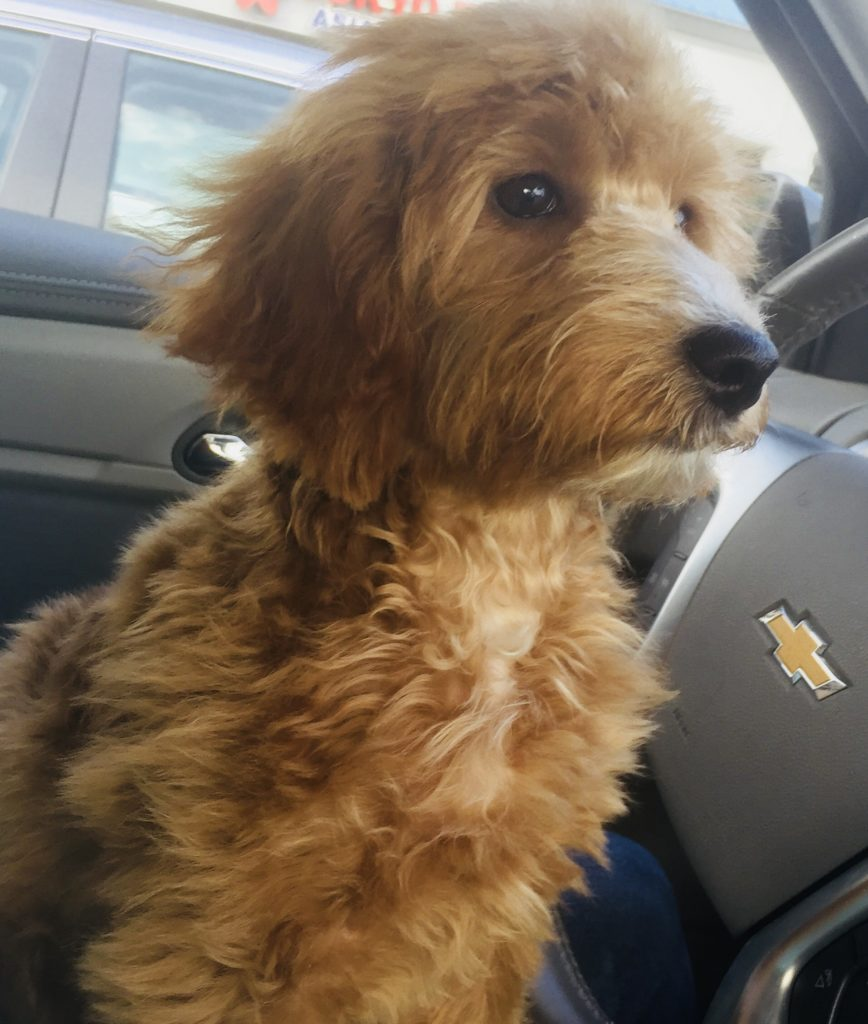 Mini Goldendoodle - Charleston, SC